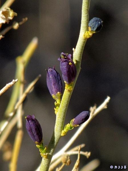 Thamnosma montana