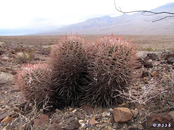 קקטוסים במדבר