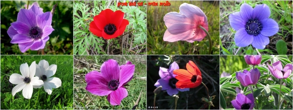 page_anemone