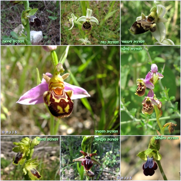 page_ophrys