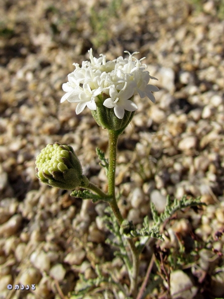 Chaenactis xantiana01
