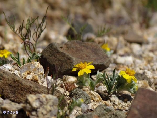 Eriophyllum wallacei02