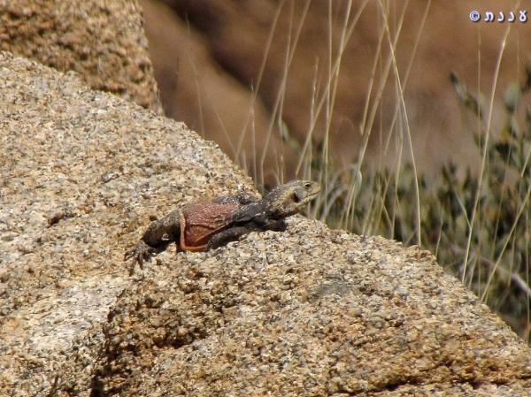 l09Sauromalus ater - Common Chuckwalla