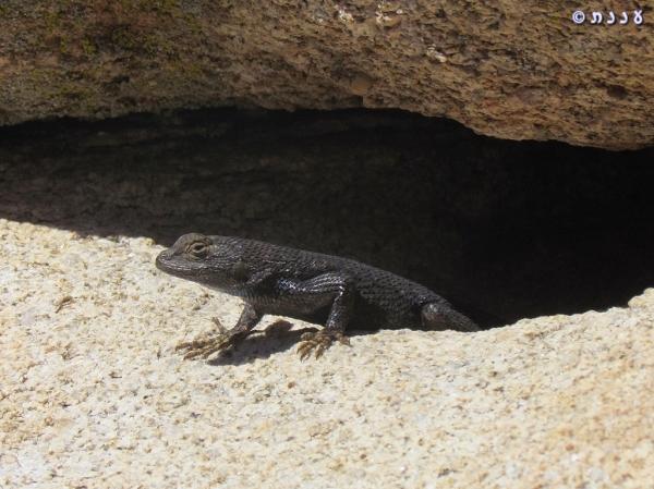 l10Sceloporus occidentalis longipes - Great Basin Fence Lizard