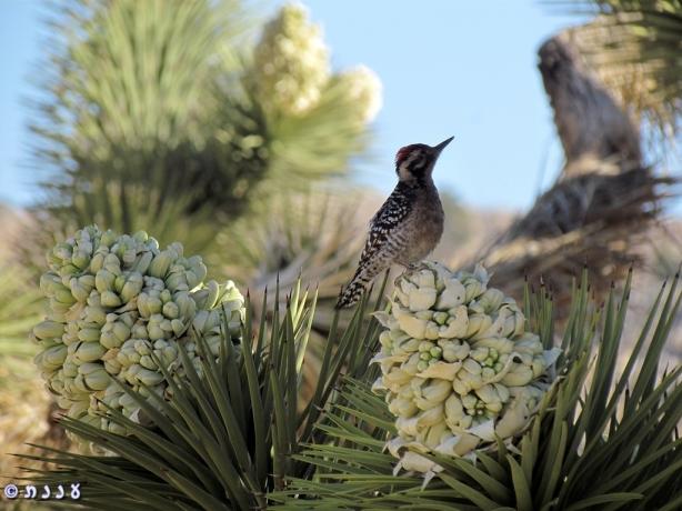 Ladder-Backed Woodpecker on Jushua Tree