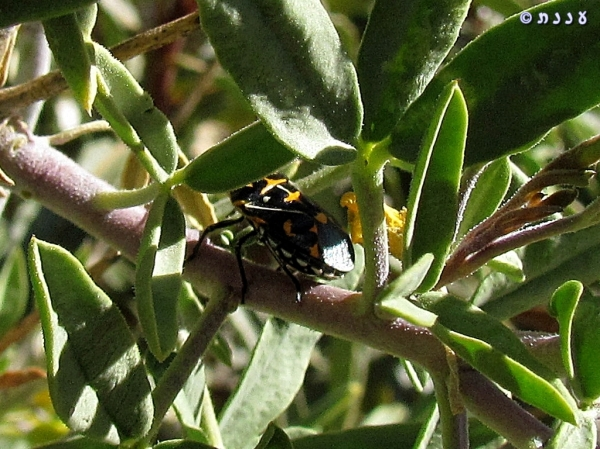IMG_0623_ Murgantia histrionica_Harlequin Bug
