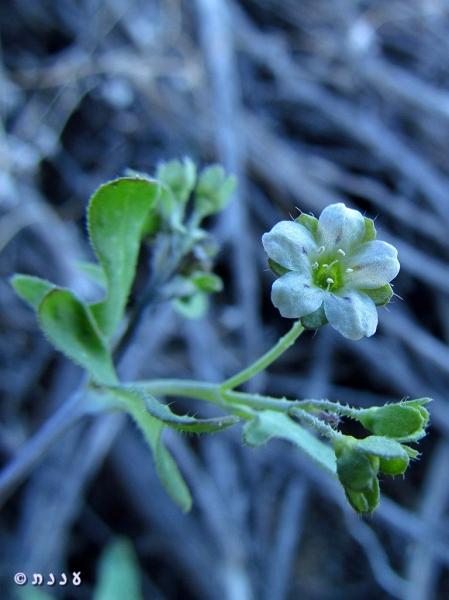 Pholistoma membranaceum 01