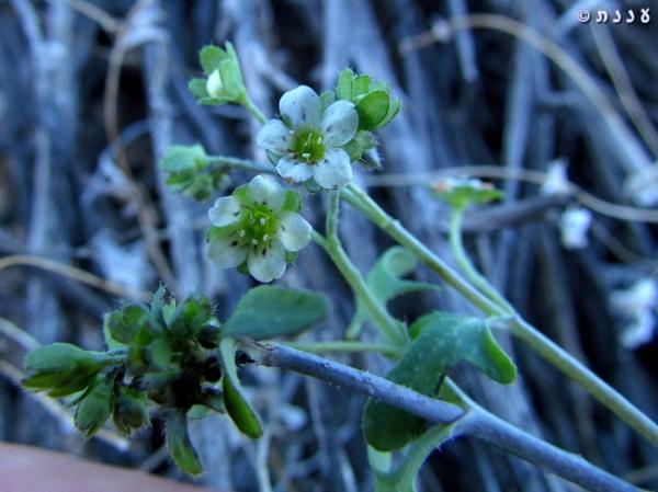 Pholistoma membranaceum 02