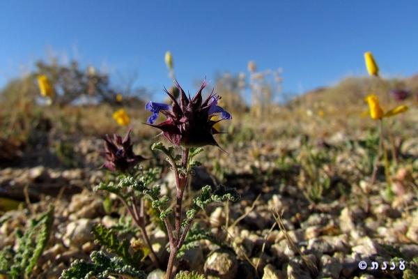 Salvia columbariae_chia02