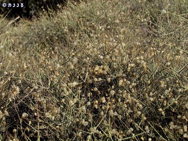 Scutellaria mexicana01