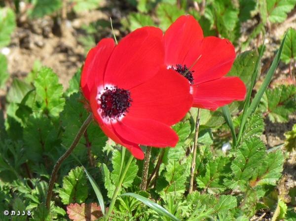 anemone06