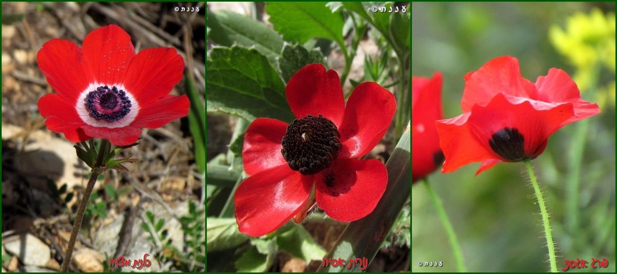 אגדת הפרחים האדומים
