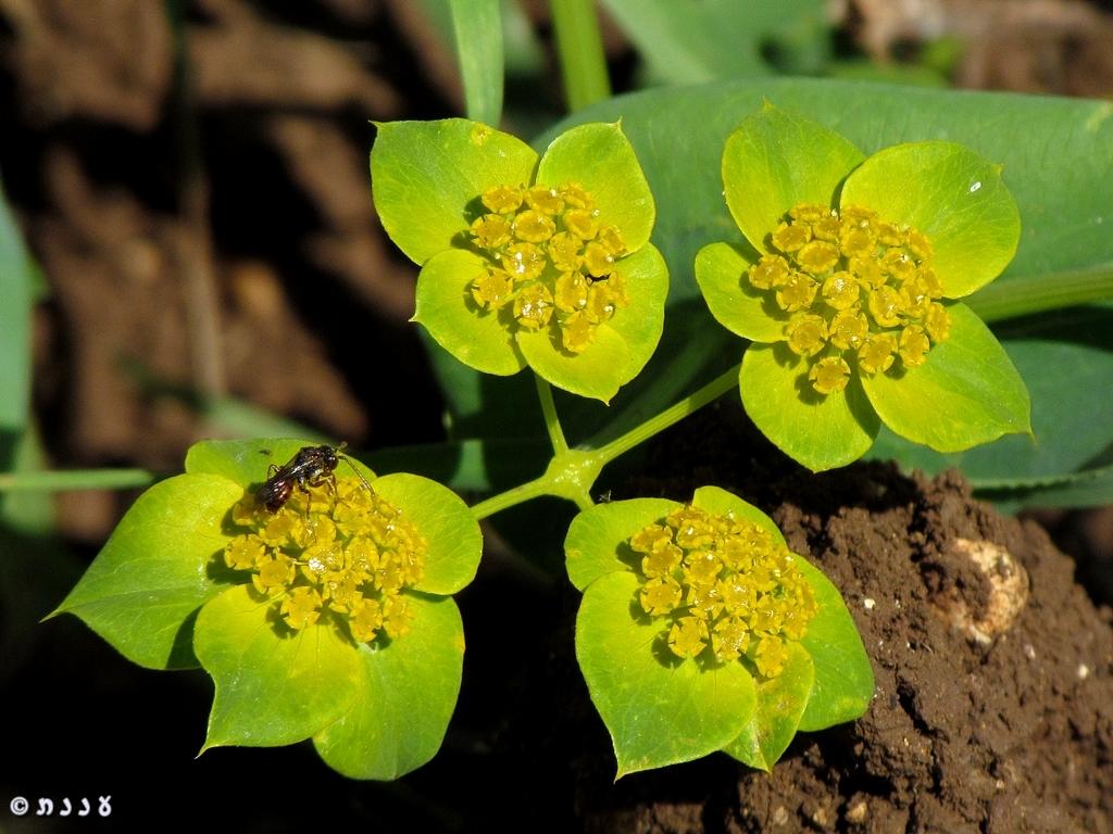 צלע-שור חרוזה – Bupleurumlancifolium