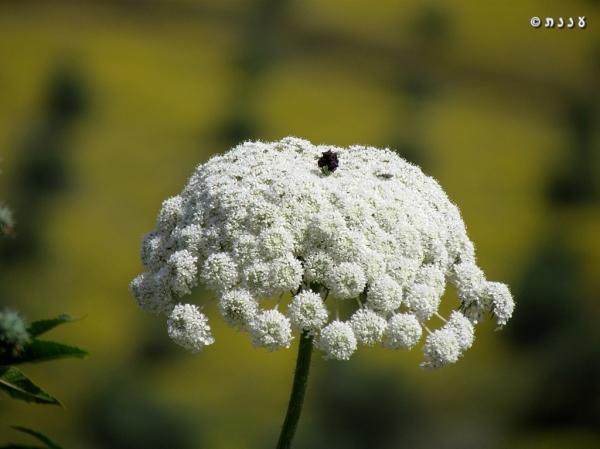 גזר קפח - Daucus carota