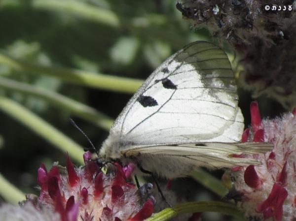 צבעוני החרמון - Parnassius mnemosyne