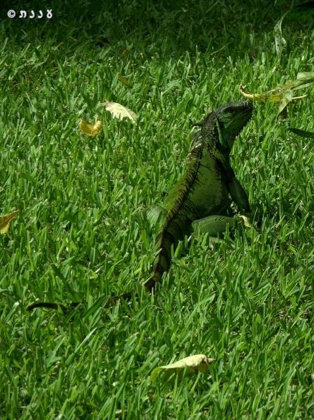 לטאות אקזוטיות בפלורידה
