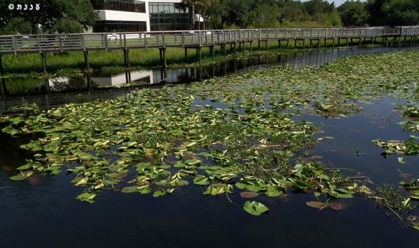 פרחי מים בפלורידה