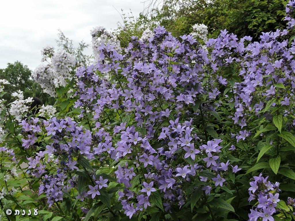 פרחים בפארקים שללונדון