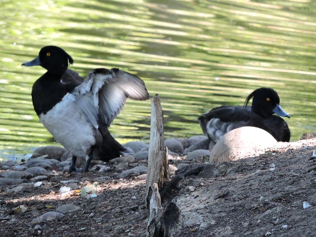 החיים בפארקים של לונדון, חלק 3:ברווזים