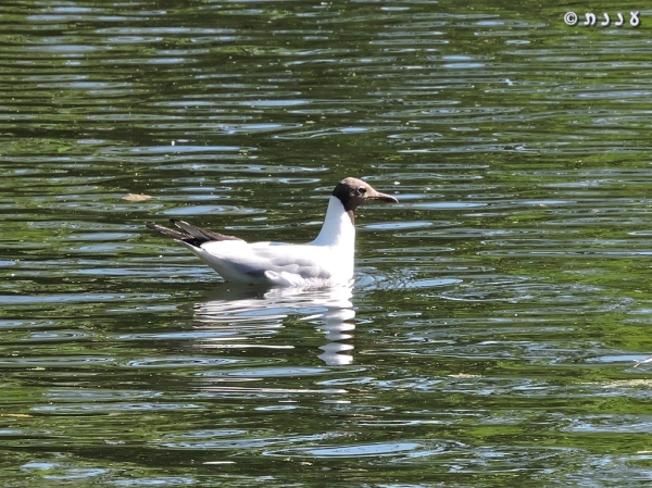 DSCN1694-black-headed-gull-שחף-אגמים