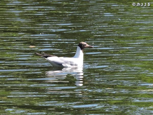 DSCN1694-black-headed-gull-שחף-אגמים