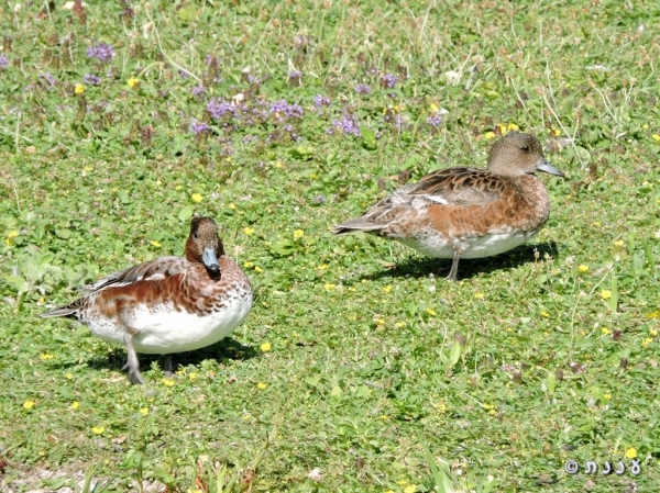 DSCN1706-European-Widgeon-צהובמצח
