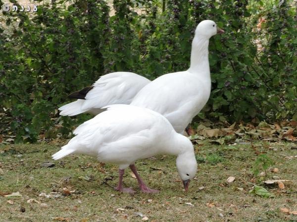 DSCN8050-Ross-Goose