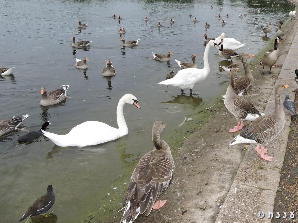 החיים בפארקים של לונדון, חלק 2: עופותמים