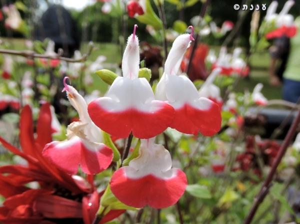 Salvia-Hot Lips01