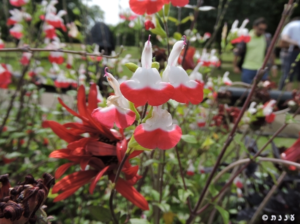 Salvia-Hot Lips02