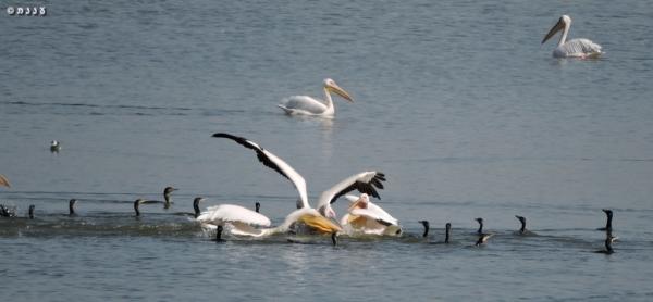 pelican-cormorandt