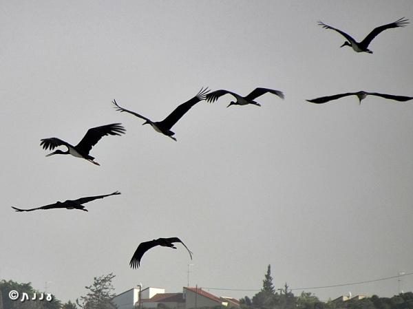 stork-black