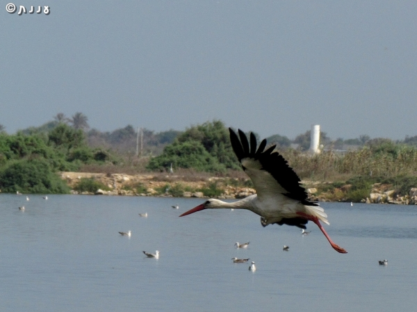 stork-white
