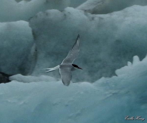 לגונת הקרחונים שחפית קוטבDSCN9027