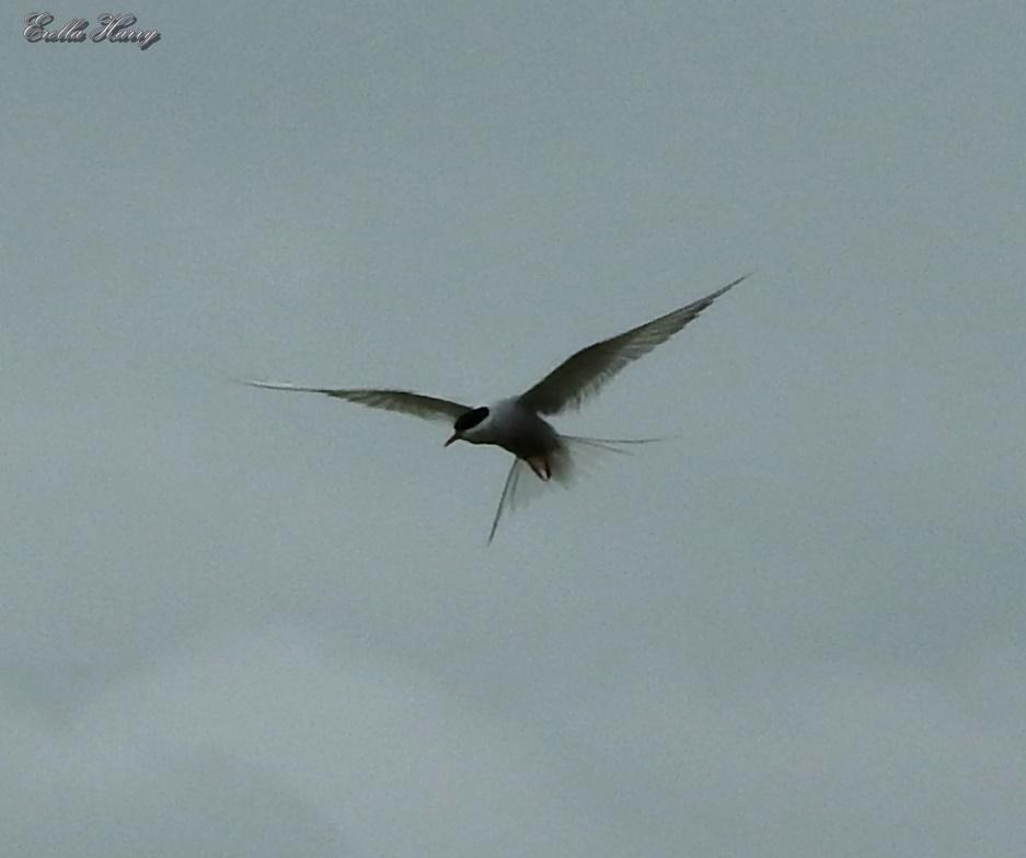 Sterna paradisaea – Arctic Tern – שחפיתהקוטב
