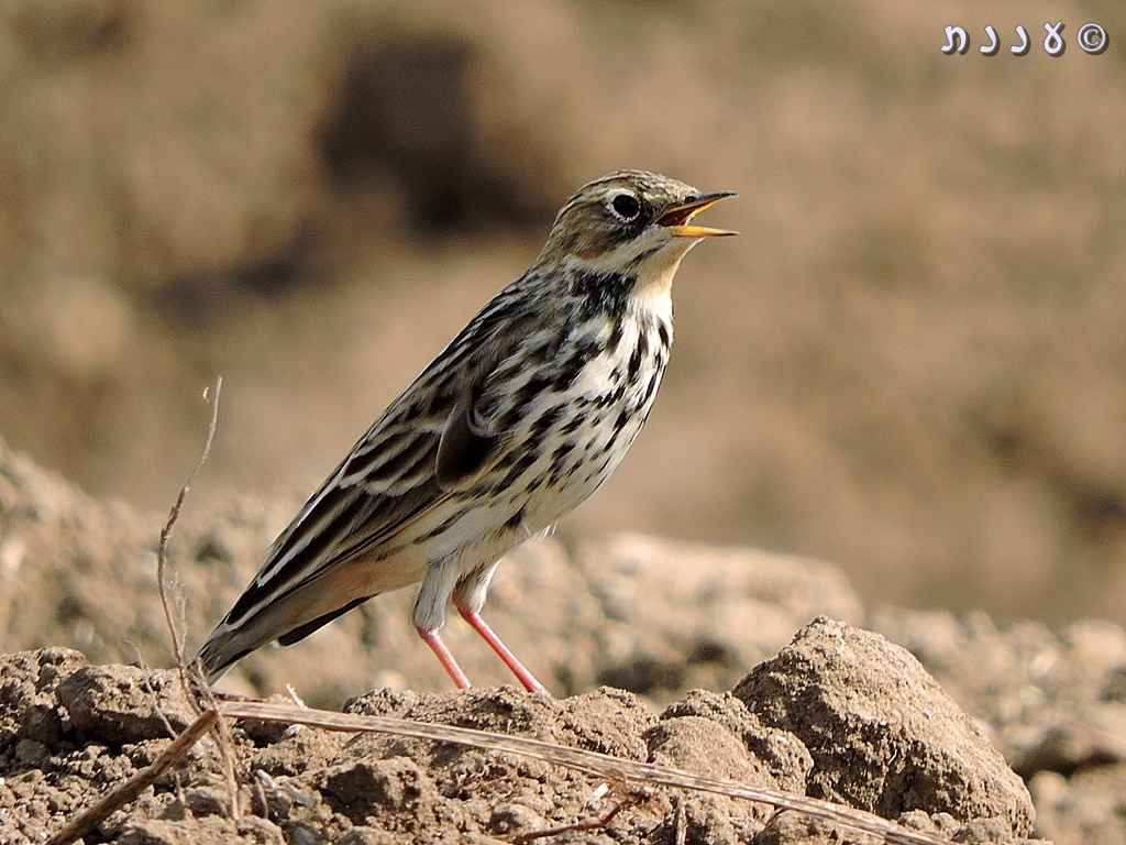 פיפיון אדום-גרון – Anthus cervinus