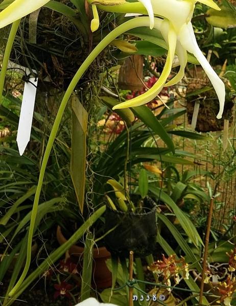Darwin's Orchid