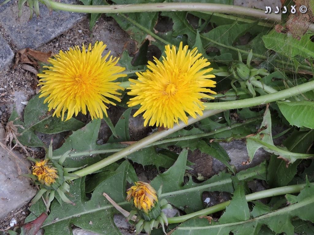 Taraxacum officinale – Dandelion – שינןרפואי
