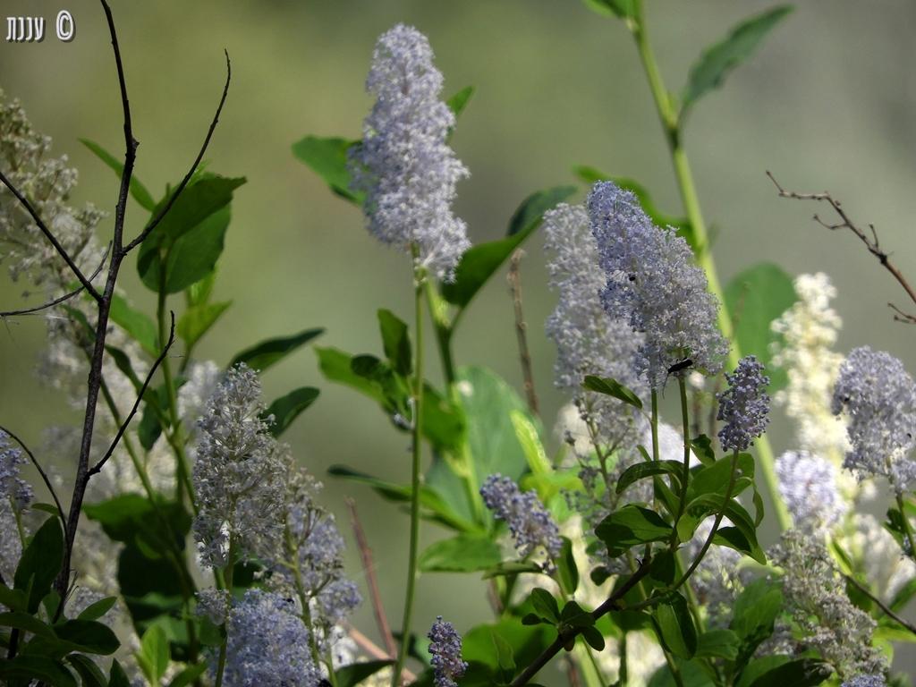 פרחים מאגם שסטה, חלקII