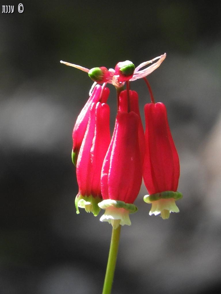 Dichelostemma ida-maia – Firecracker Flower – פרחיזיקוקים