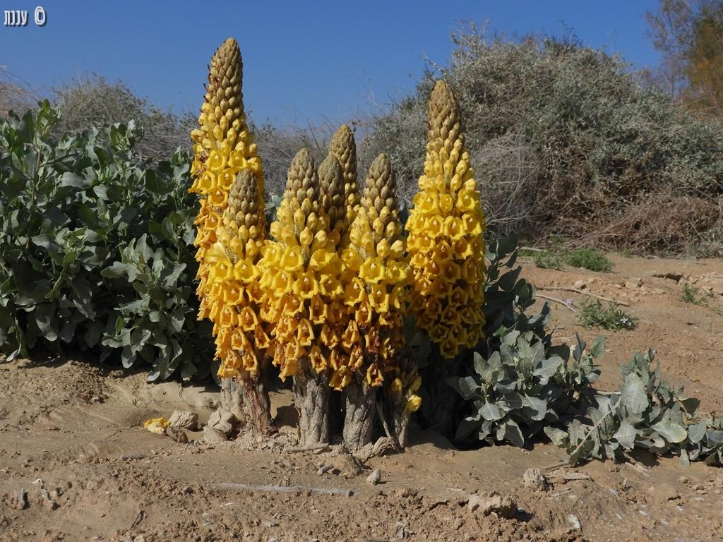 יחנוק המדבר – Cistanchetubulosa